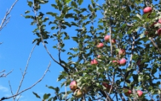 秋天的苹果树图片