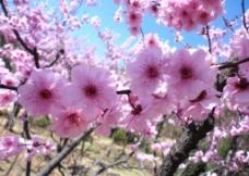 泰山 杏梅 花儿 树图片