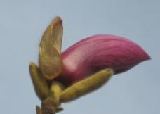 紫玉兰花图片