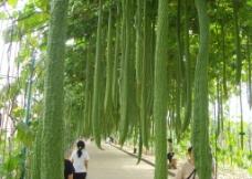 丝瓜长廊图片
