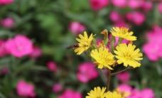 翠菊 蜜蜂图片