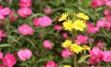 蜜蜂 翠菊图片