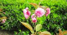 樱花园樱花图片