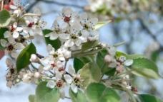 梨花 花图片