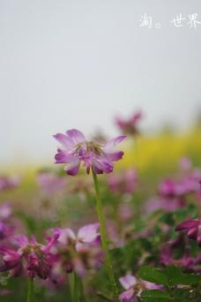 紫云英图片