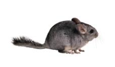 毛丝鼠 龙猫图片