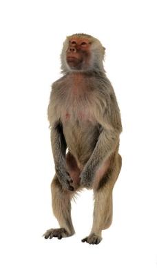 狒狒 黄狒狒图片