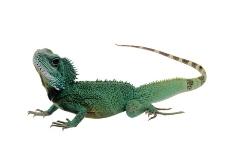 蜥蜴 绿鬣蜥图片