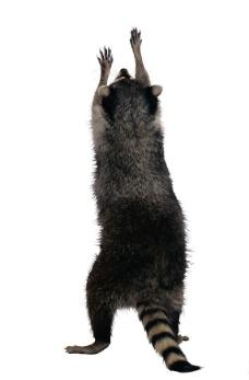 浣熊 北美浣熊图片