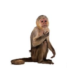 猕猴 猢狲图片