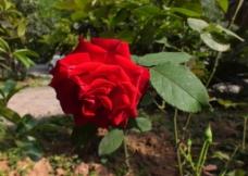 植物花草 红玫瑰图片