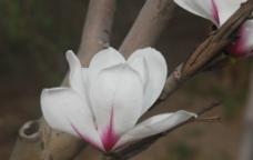玉兰花白色图片