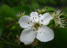 梨花花蕊图片