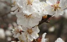 杏花 白色 春天 生图片