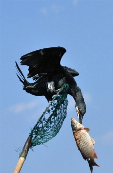 洱海鱼鹰图片