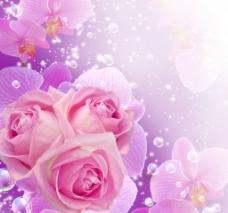 粉红玫瑰图片