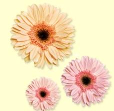 花草 菊花图片
