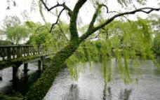 柳枝垂岸图片