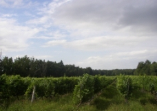 法国葡萄园图片