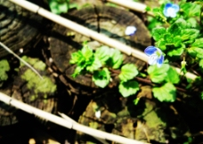 田园 蓝花图片