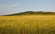 青稞麦田图片