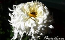 菊花海报图片