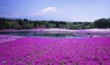 紫色花田富士山图片