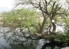 安徽宏村南湖古树图片