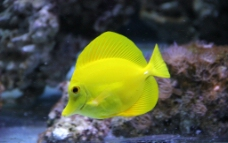 柠檬鱼图片