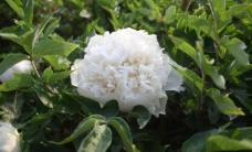 白牡丹图片