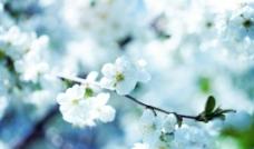 梨花 唯美图片