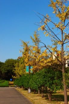 银杏 运河公园图片