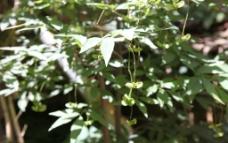 金线吊蝴蝶图片