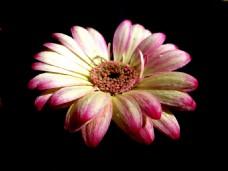 位图 植物 写实花卉 花朵 菊花 免费素材
