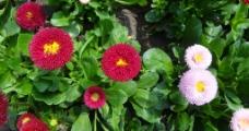 菊花灿烂图片