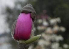 花骨朵图片