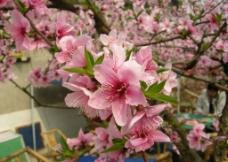 桃花灿烂图片