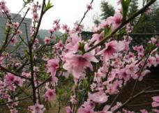 春天桃花开图片