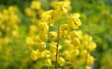 刺荚黄槐图片
