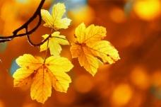 枫叶 背景图片 背景  秋天 黄色背景