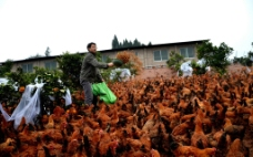绿色农家鸡养殖基地图片