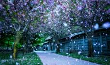 樱花雨图片