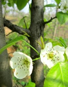 梨树 梨花 春天图片