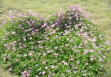 小野花图片
