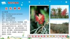 紅花銀樺圖片