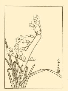 香菖蘭圖片