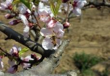 桃花蜜蜂图片